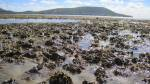 Paiko Bay at low tide - you can really see the non-native Leather mudweed (Avrainvillea amadelpha)